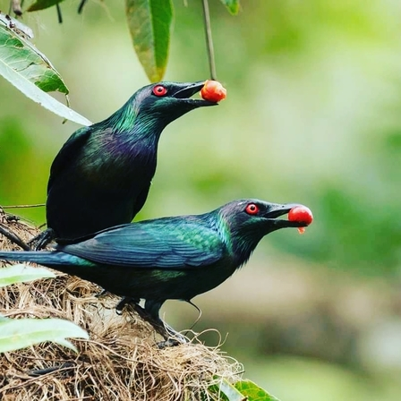 Metallic Starlings Festival in the Daintree