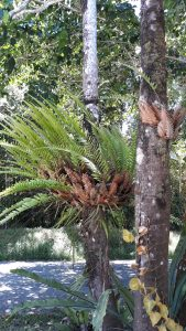 Basket Ferns need rainfall to flourish