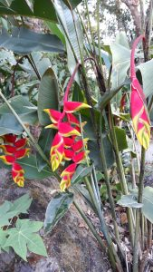 January rain in the Daintree Rainforest brings color to the gardens